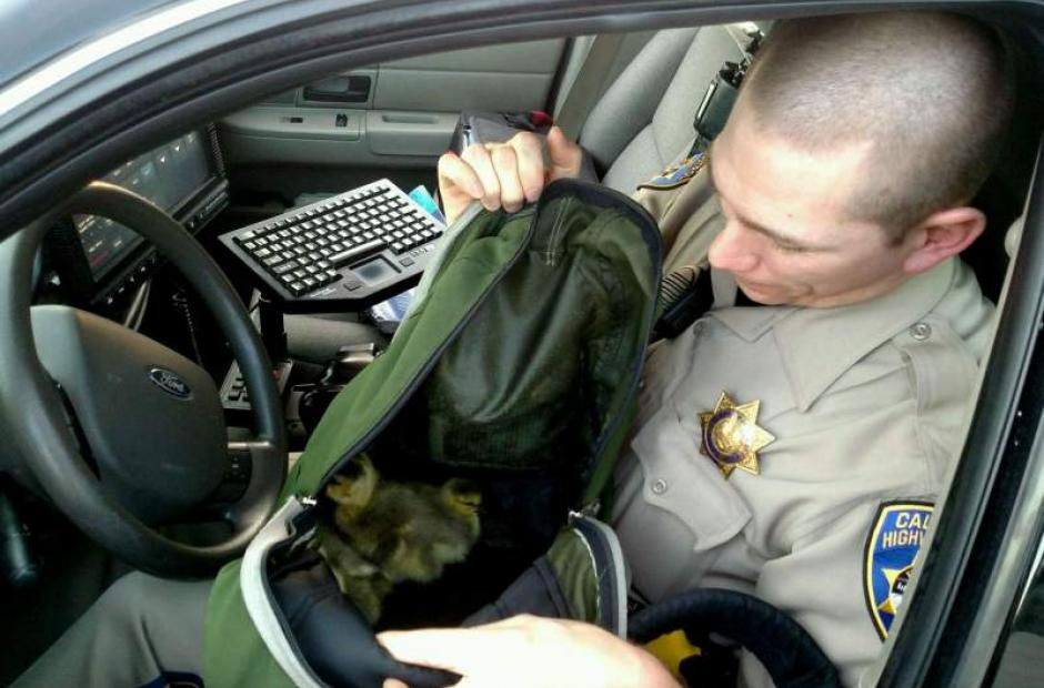 Image of CHP officer aids baby geese trying to cross Highway 101 in northern Santa Rosa